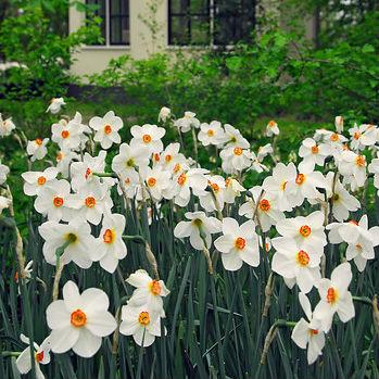 Narcissus Recurvus 5st.