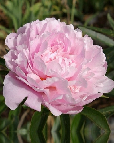 Pioenroos Sarah Bernhardt 1st.