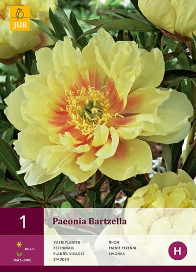 Pioenroos Bartzella 1st.