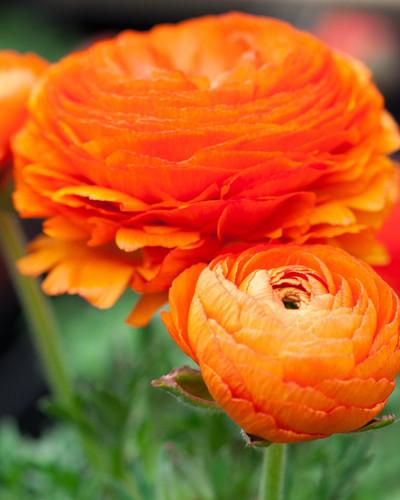Ranonkel Oranje 10st.