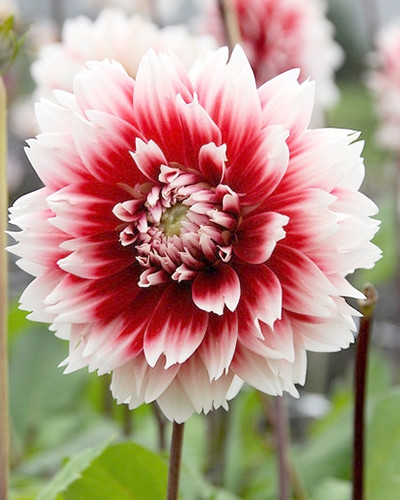 Dahlia Red And White Fubuki 1st.