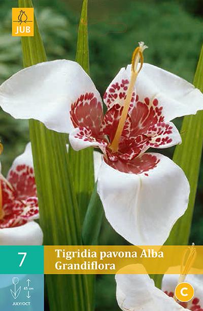 Tigridia pavonia Alba Grandiflora 7st.