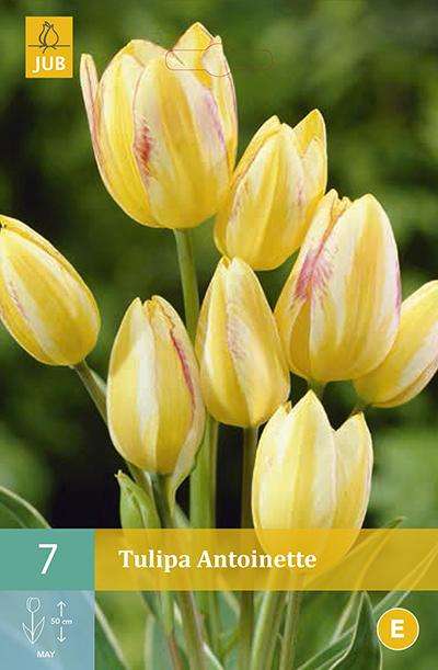 Tulpen Antoinette 7st.
