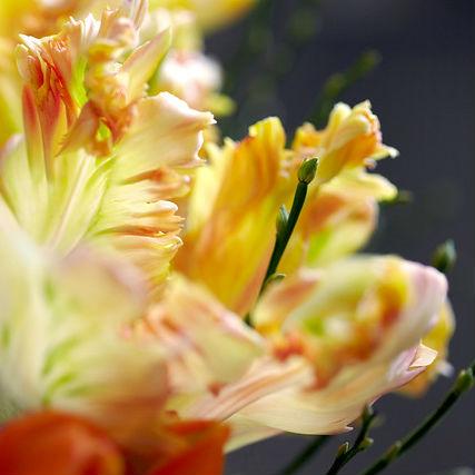 Tulpen Apricot Parrot 7st.
