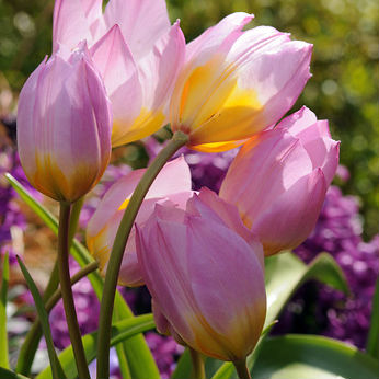 Tulpen Bakeri Lilac Wonder 10st.