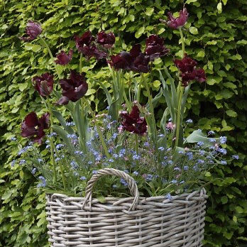 Tulpen Black Parrot 7st.