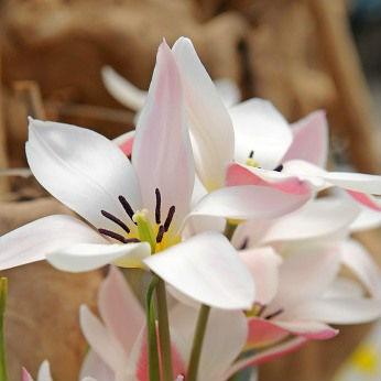 Tulpen Clusiana 7st.