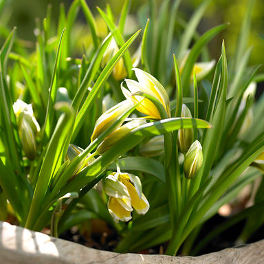 Tulpen Dasystemon Tarda 10st.