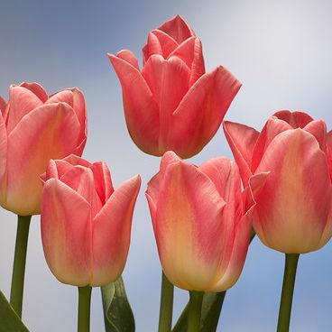Tulpen Dynasty 10st.
