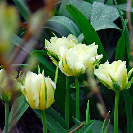 Tulpen Exotic Emperor 7st.