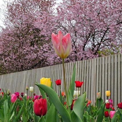 Tulpen Flaming Purissima 10st.