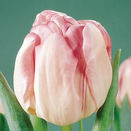 Tulpen Foxtrot 7st.
