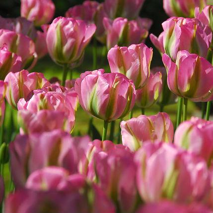 Tulpen Groenland 7st.