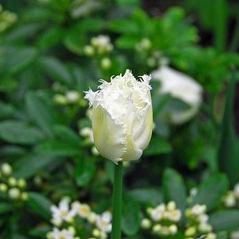 Tulpen Honeymoon 7st.
