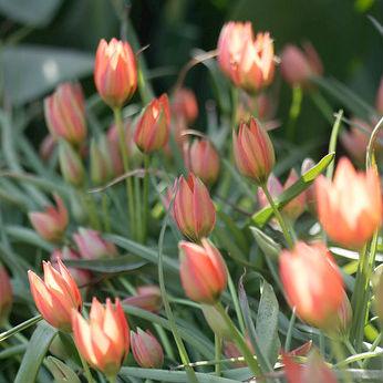 Tulpen Little Princess 10st.