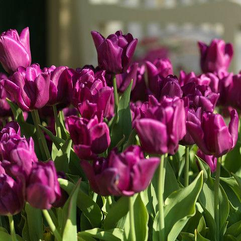 Tulpen Passionale 10st.