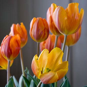 Tulpen Prinses Irene 7st.