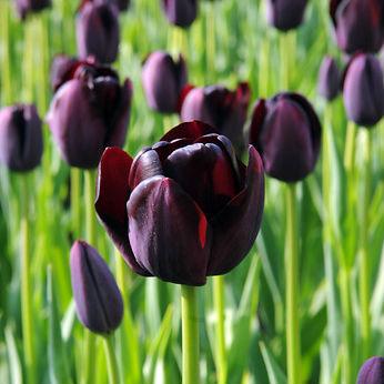 Tulpen Queen Of Night 10st.