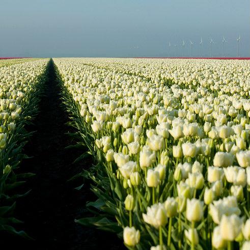 Tulpen Spring Green 7st.