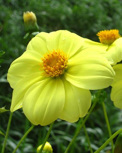 Dahlia Yellow Sneezy 1st.