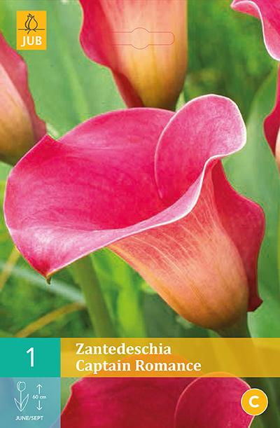 Zantedeschia Captain Romance 1st.